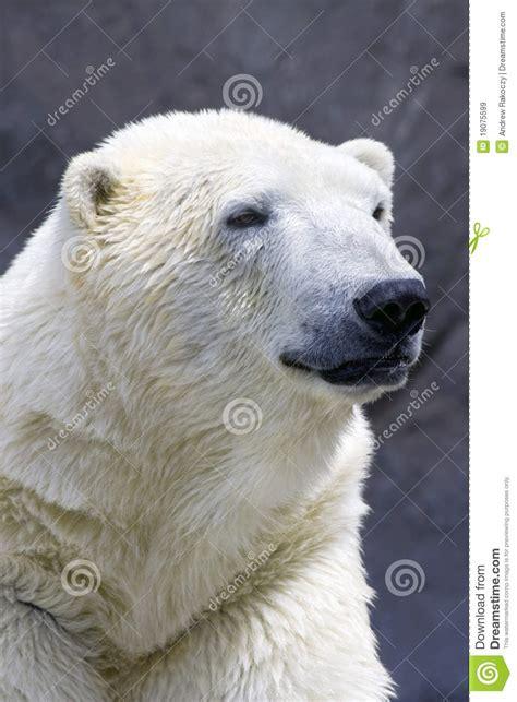 polar portrait royalty free stock images image 19075599