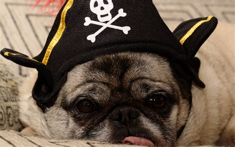 pug pirate costume pugs archives page 3 of 30 about pug