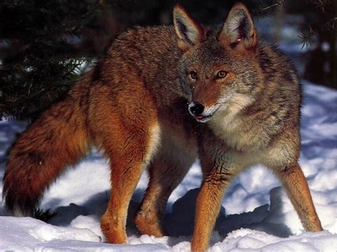 Animal Ornaments coyote wallpapers first hd wallpapers