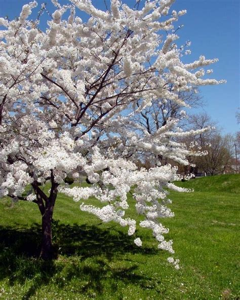 tree variety cherry trees different types of flowering cherry trees