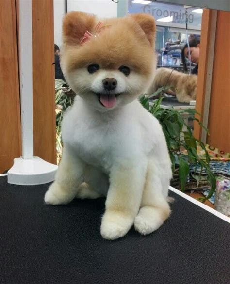 buy pomeranian teddy teddy pomeranian cut breeds picture