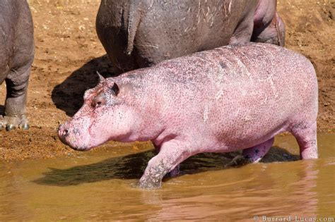 what color are hippos pink hippo discovered in the masai mara