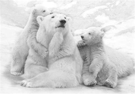 imagenes animales polares imagenes osos tierna imagen osa polar con sus cachorros