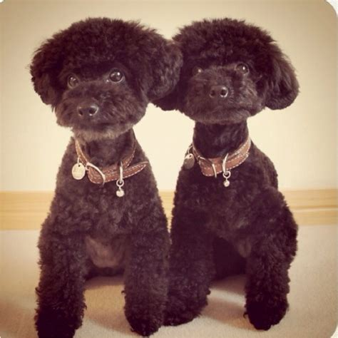 toy poodle haircuts pictures toy poodle hair cuts pictures to pin on pinterest thepinsta