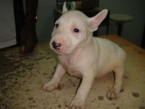 miniature bull terrier puppies for adoption bull terrier adoption related keywords suggestions bull terrier adoption