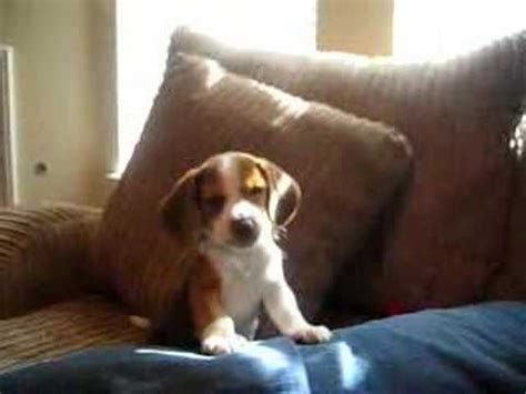 beagle puppy howling beagle puppy howl