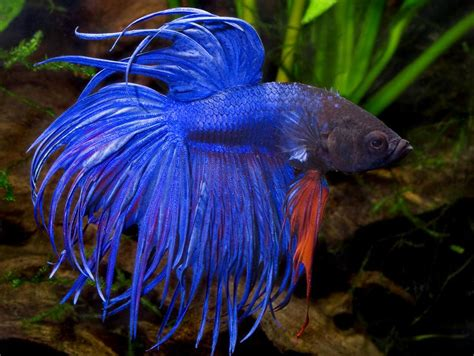 Home Fashion Design Houston by Crown Tail Bettas One Of The Coolest Fishes I Have Seen
