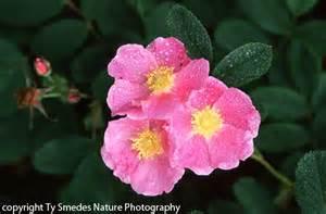 iowa s state flower the wild rose