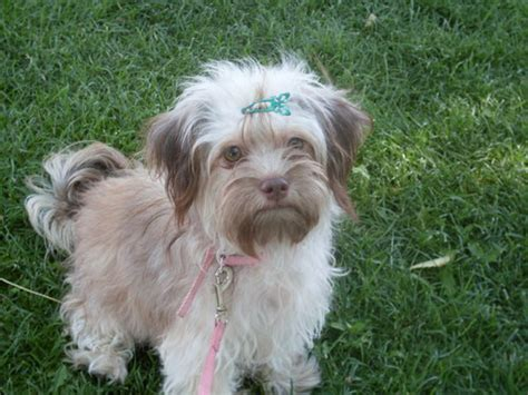 bolonka puppies for sale pin russian tsvetnaya bolonka puppies for sale arizona california on