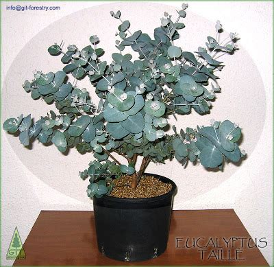 eucalyptus bonsai grow them indoors eucalyptologics git forestry consulting information