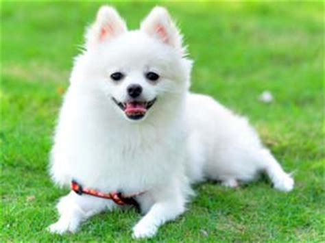 pomeranian exercise tips on pomeranian exercise boldsky