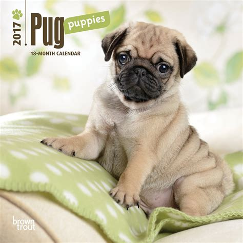 mini pug puppies pug puppies 2017 mini wall calendar 9781465053770 calendars