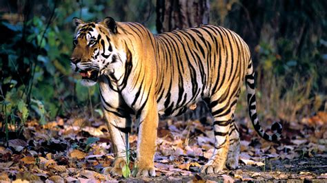 Ktm Tiger Rainbow Ktm Kacamata Trail Tiger Rainbow bengal tiger wallpaper 214105