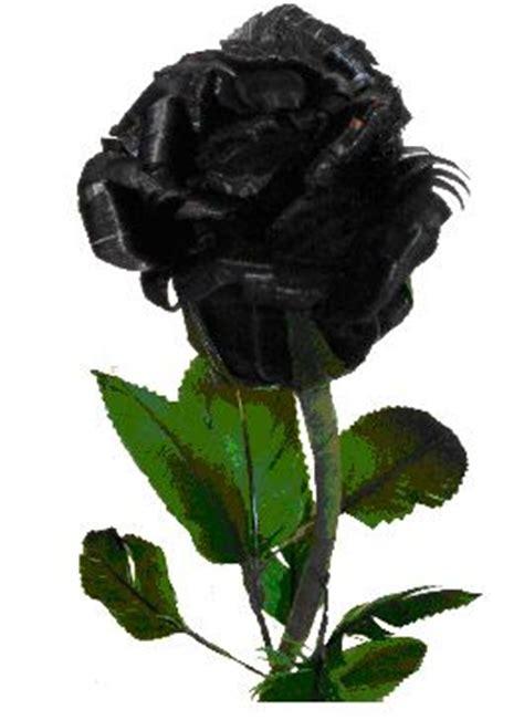 Tanaman Mawar Hitam cassielf