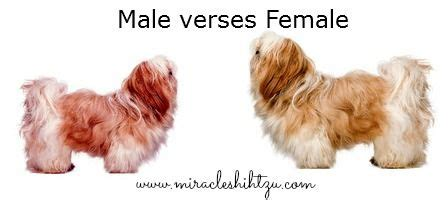 shih tzu personality temperament the shih tzu temperament personality recipes to cook shih tzu
