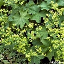 alchemilla mollis buser rothm lady s mantle flora