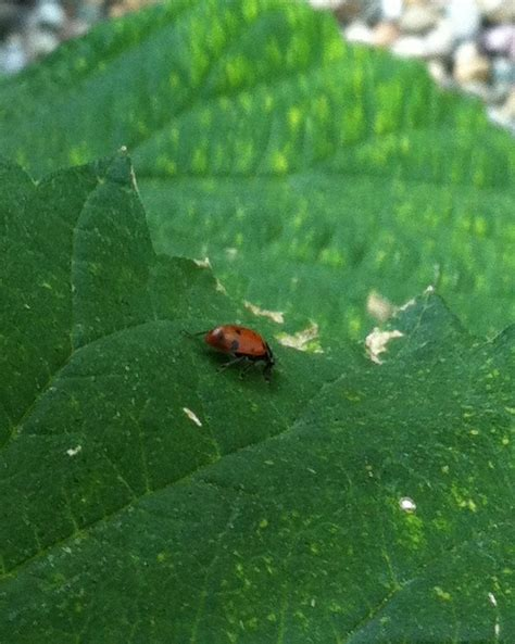 where to find ladybugs in your backyard how to find ladybugs in your backyard 28 images find