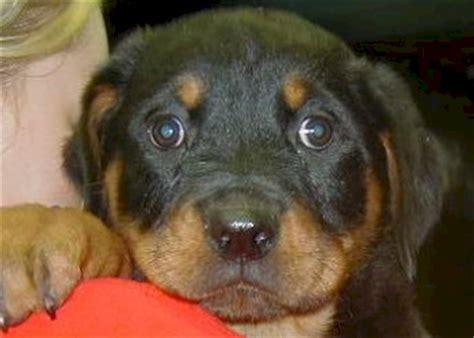 rottweiler karakter rottweiler pups te koop rottweiler puppies te koop woefkesranch