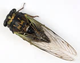 day cicada day cicada neotibicen lyricen bugguide net