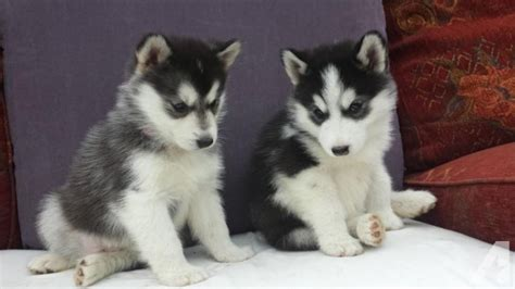 husky puppies for sale in houston lovely and siberian husky puppies available here for sale in houston