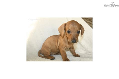 dachshund puppies for sale in ms dachshund mini puppy for sale near jackson mississippi ea060721 0141