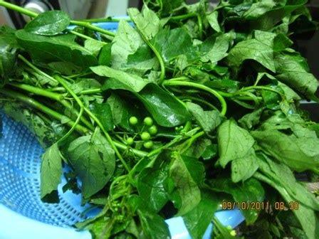 Teh Pucuk Kecil 1 Dus pokok herba bunga ulaman dan segala jenis tumbuhan pucuk meranti