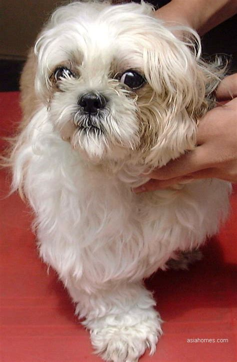 shih tzu tears 0909singapore interdigital cysts skin veterinary pruritus itch left ear