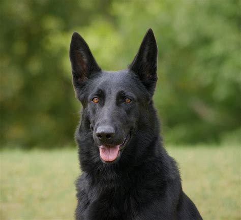 black shepherd black german shepherd photograph by keeton