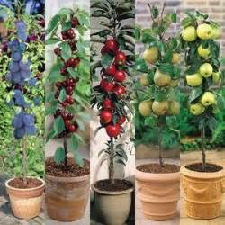 Patio Fruit Plants by 25 Best Ideas About Miniature Fruit Trees On