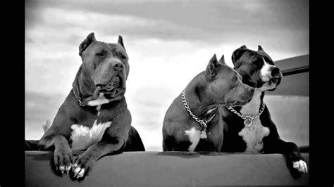 Pitbull Dogs Wallpaper