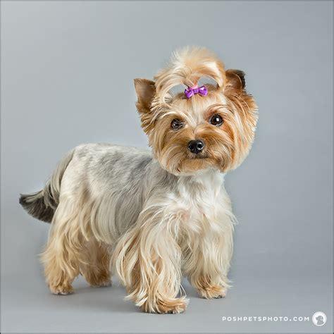 yorkie breeders toronto yorkie puppies toronto 28 images free yorkie puppies teacup yorkie puppies for