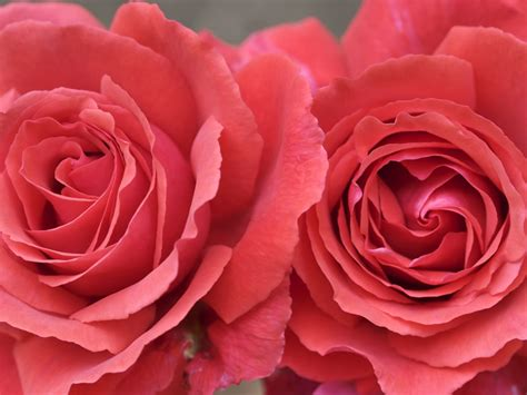 Wallpapers: Pink Roses