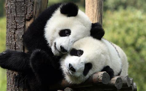 Free Hugs Panda hug hugging mood happy panda