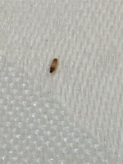 Identify Bed Bugs by Help Identify This Bug Urgently A Carpet Beetles