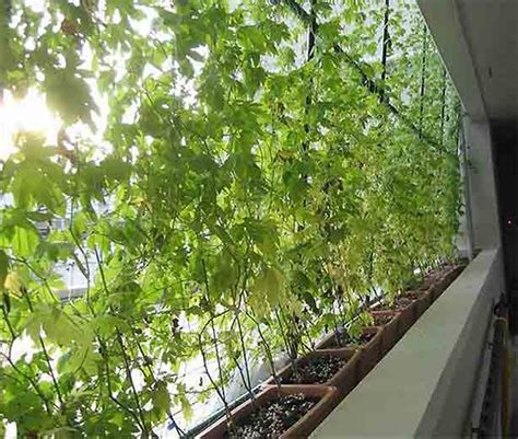 plant curtains how to grow an energy saving living curtain urban gardens