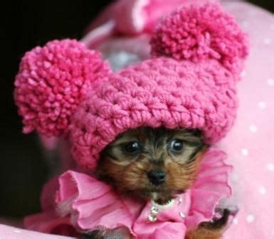 pet stores that sell teacup yorkies best 25 teacup yorkie ideas on yorkie teacup puppies mini yorkie and
