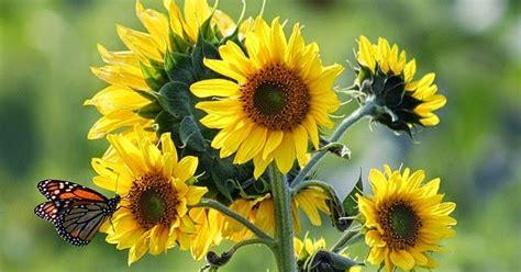 Bagian Dalam Flower Hitam sang anggrek merpati kelas menyulam sulam pita bagian 2 sun flower sesion 1