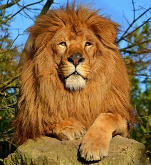 lion facts  kids