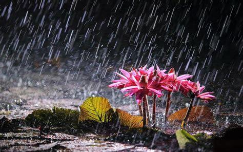 wallpaper rain pink pink water lilies in heavy rain wallpaper flowers