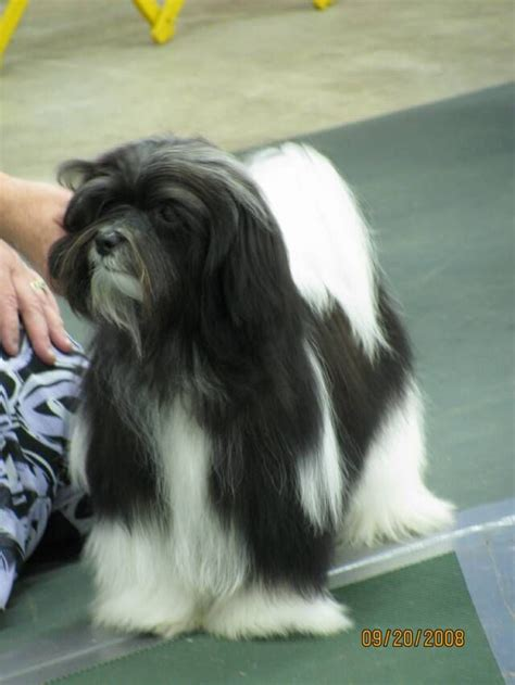 types of havanese 17 best images about if i get another someday on olives cocker