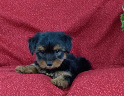 yorkie puppies for sale mn craigslist n cuddly yorkie pups puppy4me