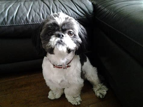 black white shih tzu kc reg black white shih tzu for stud redcar pets4homes