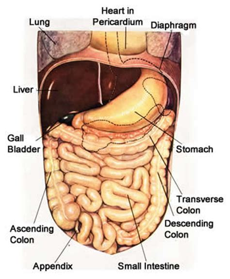 last section of the large intestine large intestine