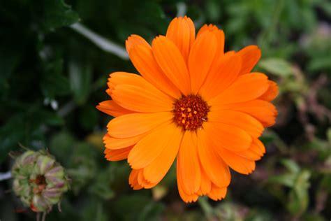 fiori arancioni fiore arancione piccolo fiore immortalato di fretta