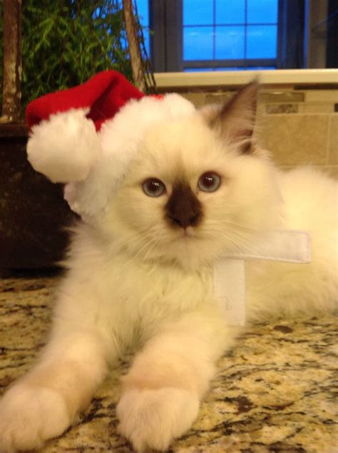 ragdoll pose with tips 17 best images about beautiful ragdoll kittens or cat s