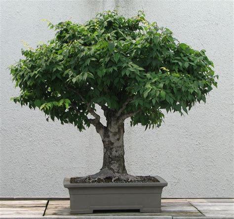 vasi da bonsai prezzi bonsai attrezzi e vasi per bonsai bonsai prezzi