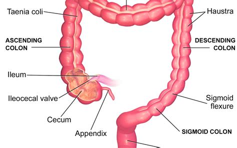 sections of the small intestine large intestine applecool info