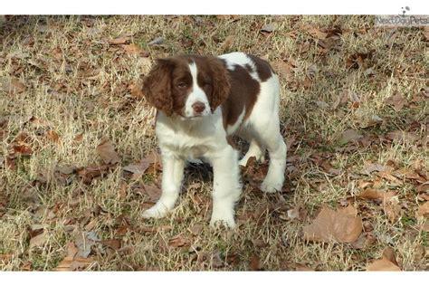 springer spaniel puppies for sale near me springer spaniel puppy for sale near jonesboro arkansas 884ec2c3 0401