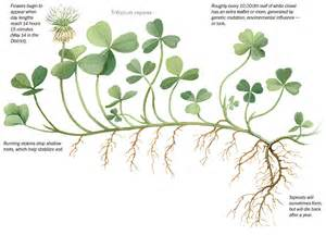 Washington S Cabinet White Clover Trifolium Repens Roughly Every 10 000th