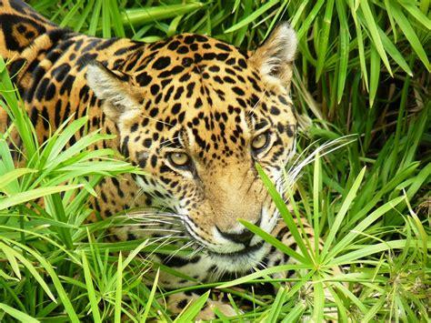 imagenes de animales jaguar jaguar americano panthera onca imagen foto animales